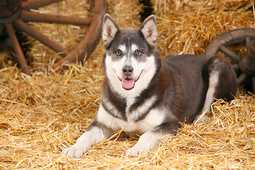 DOG 01 PE0036 01 © Kimball Stock Alaskan Malamute Laying On Hay By Old Wheels
