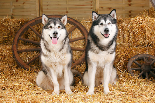 DOG 01 PE0037 01 © Kimball Stock Two Alaskan Malamutes Sitting On Hay By Old Wheels