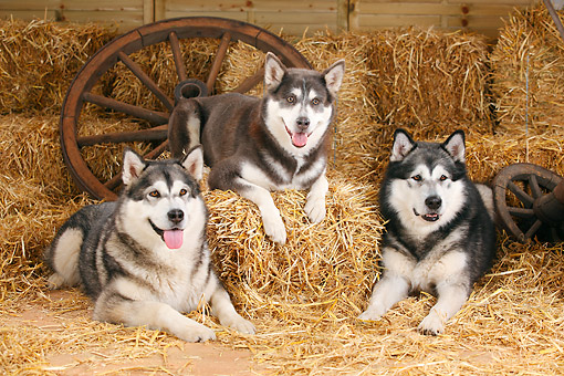 DOG 01 PE0039 01 © Kimball Stock Three Alaskan Malamutes Sitting On Hay By Old Wheels