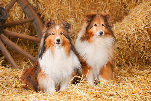 DOG 01 PE0041 01 © Kimball Stock Two Shetland Sheepdogs Sitting On Hay By Old Wheel