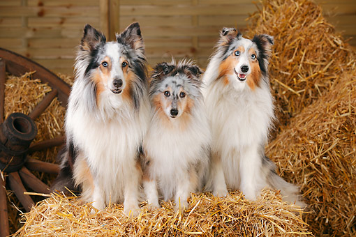 DOG 01 PE0042 01 © Kimball Stock Three Shetland Sheepdogs Sitting On Hay Bale By Old Wheel