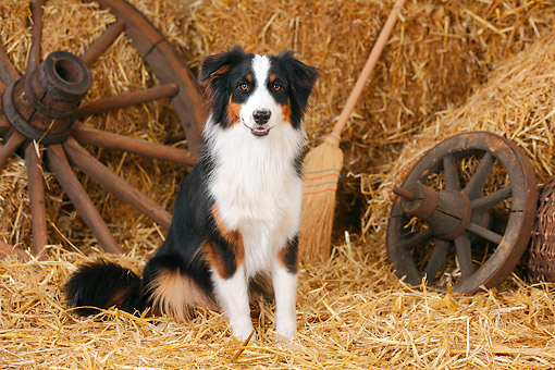 DOG 01 PE0043 01 © Kimball Stock Australian Shepherd Sitting On Hay By Broom And Old Wheels