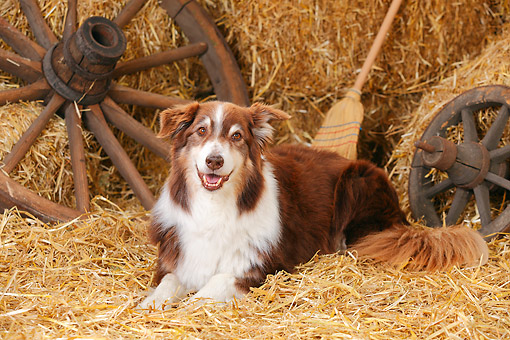 DOG 01 PE0044 01 © Kimball Stock Australian Shepherd Laying On Hay By Broom And Old Wheels