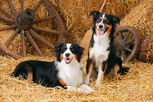 DOG 01 PE0045 01 © Kimball Stock Two Australian Shepherds On Hay By Broom And Old Wheels