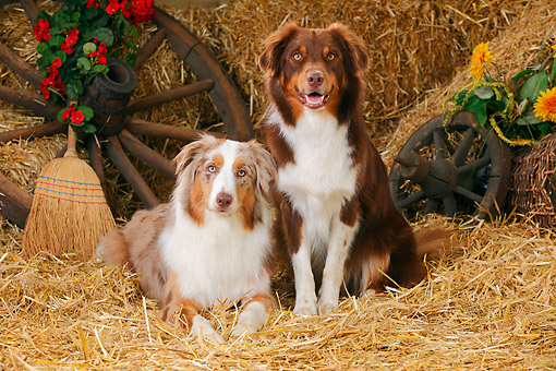 DOG 01 PE0047 01 © Kimball Stock Two Australian Shepherds On Hay By Broom, Old Wheels And Flowers