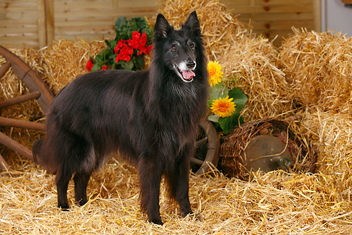 DOG 01 PE0049 01 © Kimball Stock Groenendael Belgian Shepherd Standing On Hay By Old Wheels And Flowers