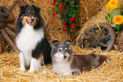 DOG 01 PE0050 01 © Kimball Stock Two Shetland Sheepdogs On Hay By Old Wheels And Flowers