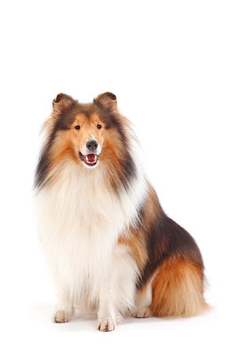 DOG 01 PE0052 01 © Kimball Stock Rough Collie Sitting In Studio