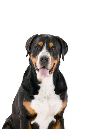 DOG 01 PE0055 01 © Kimball Stock Greater Swiss Mountain Dog Sitting With Tongue Out In Studio