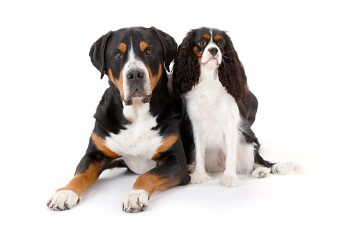 DOG 01 PE0056 01 © Kimball Stock Greater Swiss Mountain Dog Sitting With Cavalier King Charles Spaniel In Studio