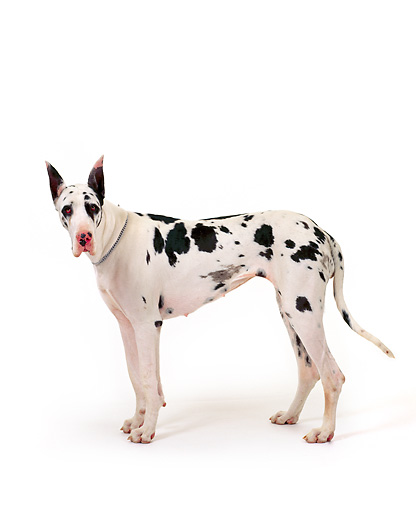 DOG 01 RK0078 03 © Kimball Stock Harlequin Great Dane Standing On White Seamless Background