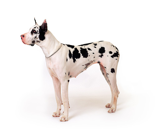 DOG 01 RK0078 22 © Kimball Stock Harlequin Great Dane Standing On White Seamless Background