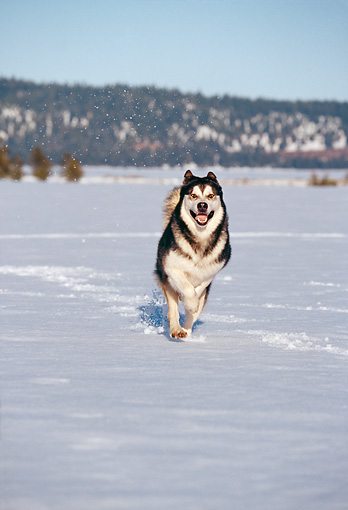 DOG 01 RK0098 01 © Kimball Stock Alaskan Malamute Running On Snow