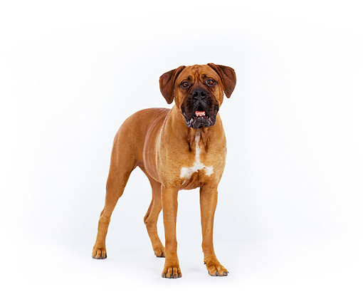 DOG 01 RK0128 06 © Kimball Stock Mixed Breed Boxer Standing On White Seamless Background