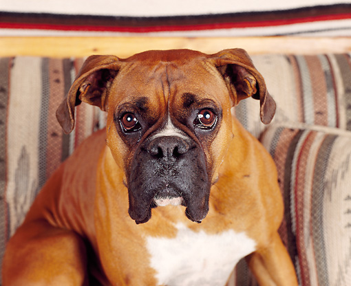 DOG 01 RK0164 07 © Kimball Stock Boxer Sitting On Couch