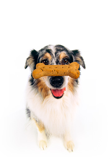 DOG 01 RK0178 04 © Kimball Stock Wide Angle Of Australian Shepherd Sitting With Bone On Nose White Seamless