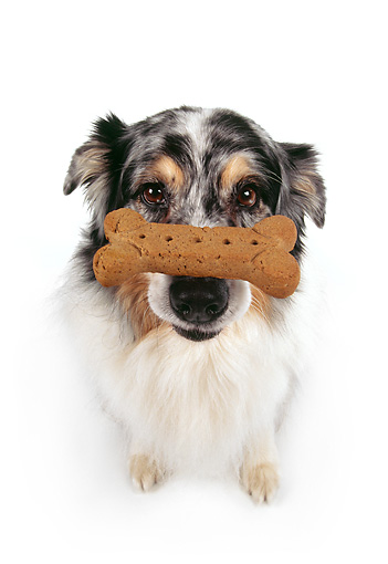 DOG 01 RK0178 07 © Kimball Stock Wide Angle Of Australian Shepherd Sitting With Bone On Nose White Seamless