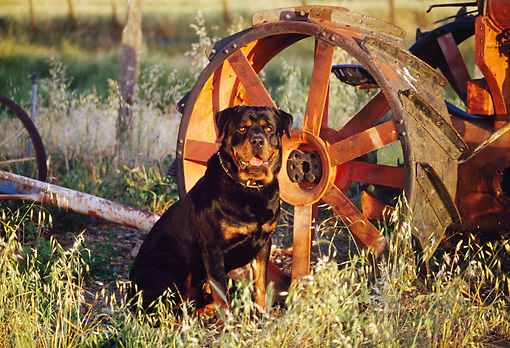 DOG 01 RK0193 02 © Kimball Stock Rottweiler Sitting By Wagon Wheel