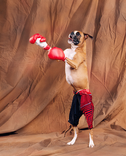 DOG 01 RK0197 03 © Kimball Stock Humorous Shot Of Boxer On Hind Legs Wearing Boxing Gloves Brown Background