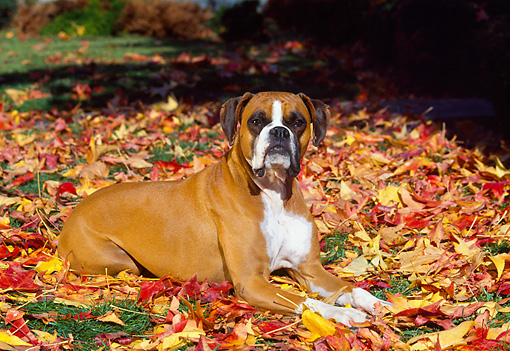 DOG 01 RK0216 05 © Kimball Stock Boxer Laying On Fall Colored Leaves