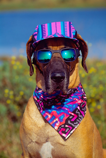 DOG 01 RK0288 09 © Kimball Stock Humorous Head Shot Of Great Dane Sitting Wearing Sunglasses Hat And Bandana At Baylands