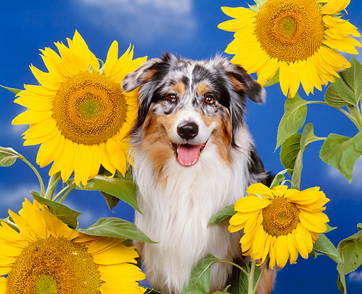 DOG 01 RK0310 05 © Kimball Stock Close-Up Of Australian Shepherd Sitting Surrounded By Sunflowers