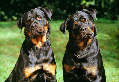 DOG 01 RK0325 12 © Kimball Stock Close Up Of Two Rottweilers Sitting On Grass Facing Camera