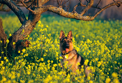 DOG 01 RK0461 08 © Kimball Stock German Shepherd Sitting In Yellow Flower Field By Tree Facing Camera
