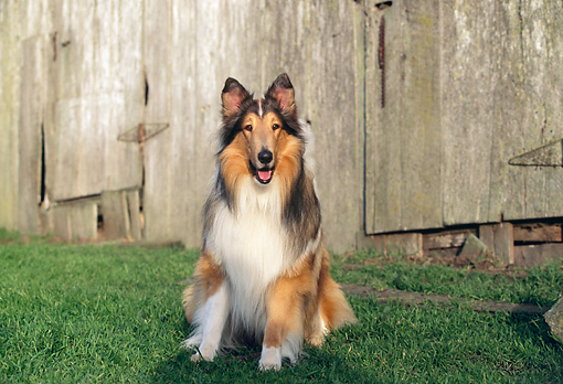 DOG 01 RK0525 03 © Kimball Stock Rough Collie Sitting On Grass Facing Camera