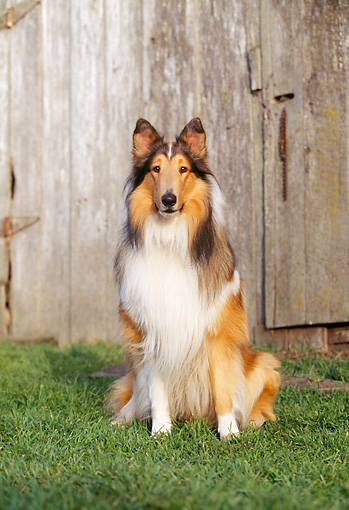 DOG 01 RK0525 04 © Kimball Stock Rough Collie Sitting On Grass Facing Camera