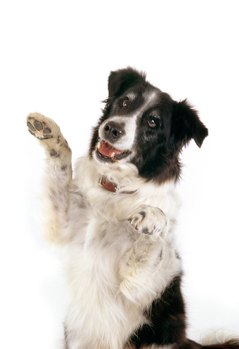 DOG 01 RK0712 03 © Kimball Stock Border Collie Sitting On Hind Legs On White Seamless Studio