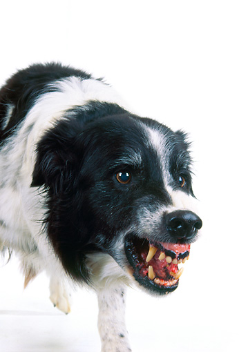 DOG 01 RK0715 06 © Kimball Stock Border Collie Growling Teeth Showing On White Seamless Studio