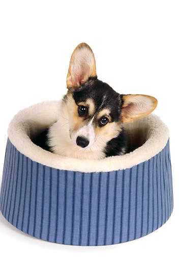 DOG 01 RK0725 05 © Kimball Stock Head Shot Of Black and Tan Pembroke Welsh Corgi  Laying In Dog Bed White Seamless
