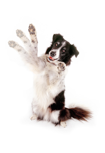 DOG 01 RK0809 01 © Kimball Stock Border Collie Sitting On Hind Legs Paws Up On White Seamless