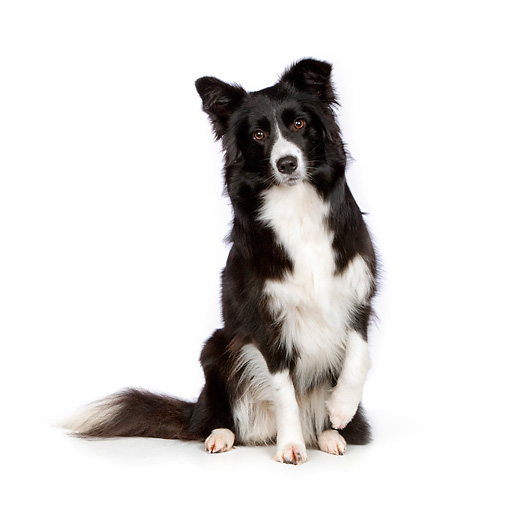 DOG 01 RK0818 01 © Kimball Stock Border Collie Sitting On White Seamless