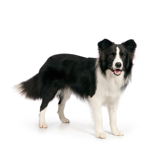 DOG 01 RK0822 01 © Kimball Stock Border Collie Standing On White Seamless