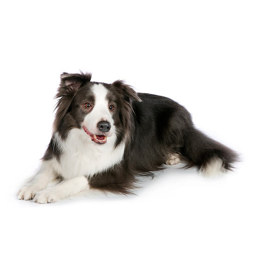 DOG 01 RK0824 01 © Kimball Stock Border Collie Laying On White Seamless