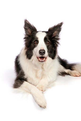 DOG 01 RK0826 01 © Kimball Stock Border Collie Laying On White Seamless