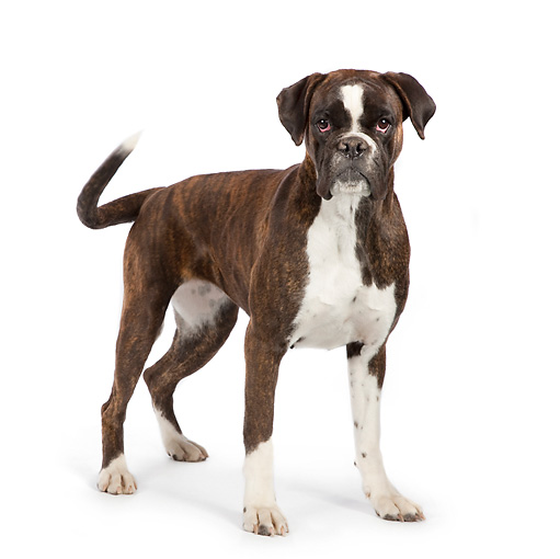DOG 01 RK0830 01 © Kimball Stock Boxer Standing On White Seamless