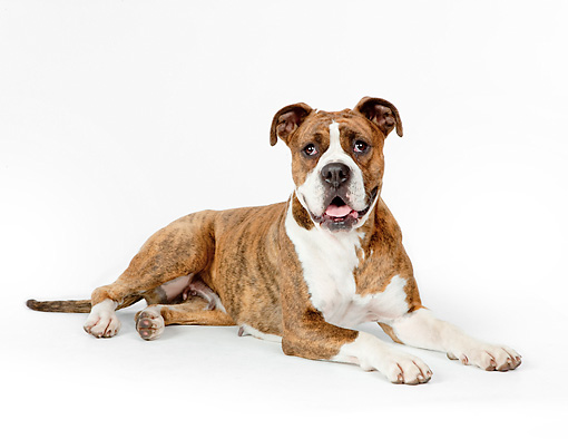 DOG 01 RK0844 01 © Kimball Stock Boxer Laying On White Seamless