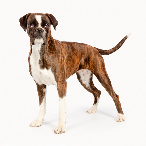 DOG 01 RK0845 01 © Kimball Stock Boxer Standing On White Seamless