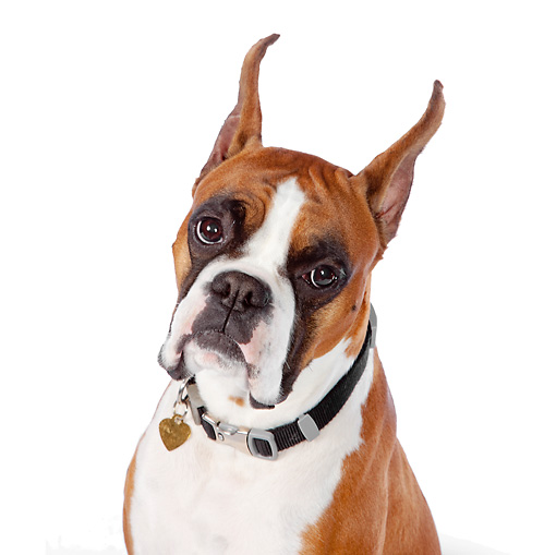 DOG 01 RK0851 01 © Kimball Stock Head Shot Of Boxer Sitting On White Seamless