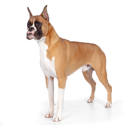 DOG 01 RK0859 01 © Kimball Stock Boxer Standing On White Seamless