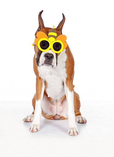 DOG 01 RK0864 01 © Kimball Stock Boxer Sitting On White Seamless Wearing Bumble Bee Sunglasses