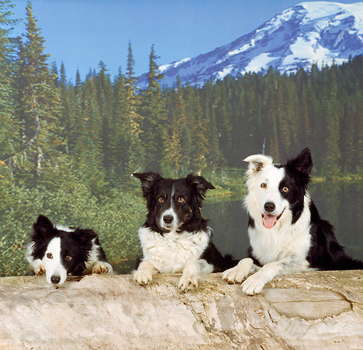 DOG 01 RS0015 05 © Kimball Stock Three Border Collies Sitting Behind Log By Lake Mountains And Trees Studio
