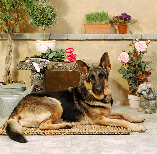 DOG 01 RS0018 02 © Kimball Stock German Shepherd Laying On Mat By Flowers Bench Wall