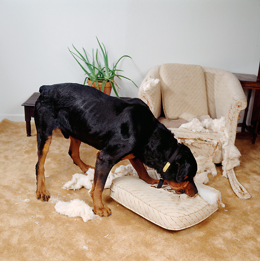DOG 01 RS0038 01 © Kimball Stock Rottweiler Tearing Up Cushion