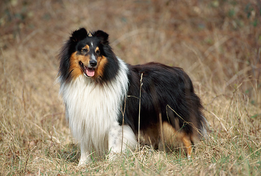 DOG 01 SS0001 01 © Kimball Stock Shetland Sheepdog Standing In Field