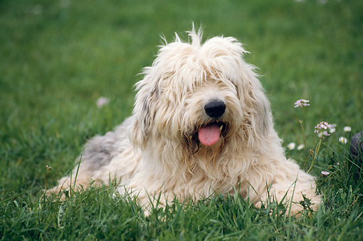 DOG 01 SS0005 01 © Kimball Stock Old English Sheepdog Laying On Grass