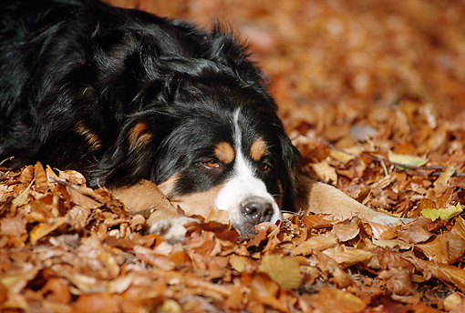 DOG 01 SS0009 01 © Kimball Stock Bernese Mountain Dog Laying On Fallen Leaves